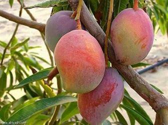 إنتاج الفاكهة مستديمة الخضرة: موالح ومانجو