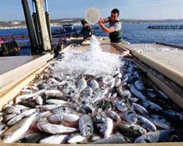 التحسين الوراثى فى الاسماك باستخدام