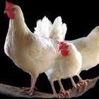 مرض الكوكسيديا في دجاج التسمين.