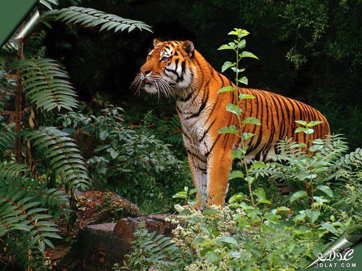 الدورة المكثفة للحيوانات البرية.