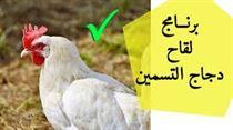 الرعاية البيطرية لقطعان دجاج التسمين.